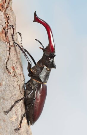 Macro side view of stag beetle (Lucanus cervus) with big red mandibles climbing on tree over cloudy sky background