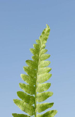 Fern leaf nib macro over blue sky background in spring