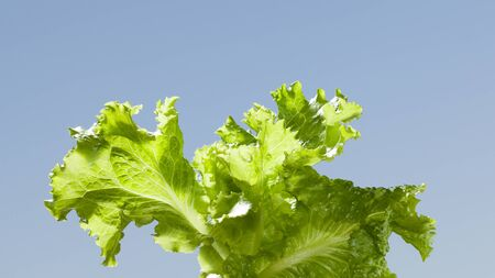 Macro of lettuce (Lactuca sativa) leaves bunch over blue sky background
