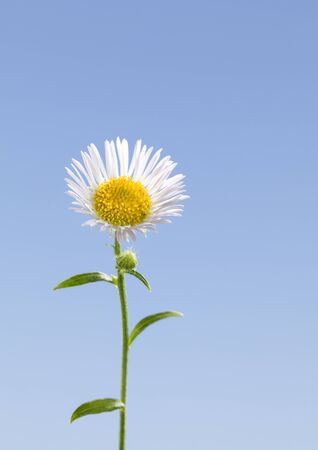 Macro of tiny eastern daisy or fleabane flower (Erigeron annuus) over blue sky background in spring