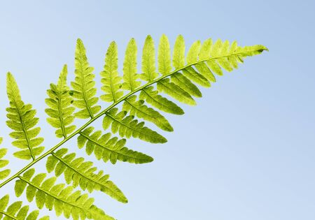 Closeup of growing fern leaf over blue sky background in springtime Stock fotó