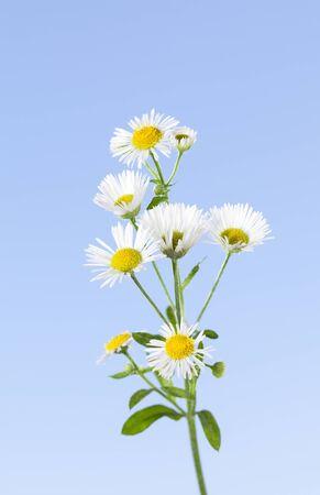 Macro of small eastern daisy or daisy fleabane (Erigeron annuus) over blue sky background