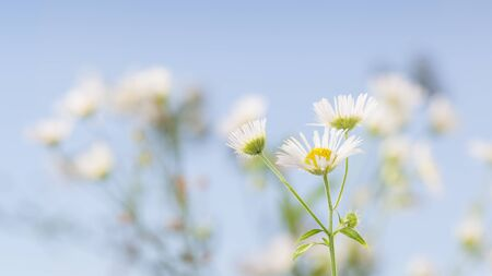 Eastern daisy or fleabane (Erigeron annuus) over wild flowers meadow background in spring