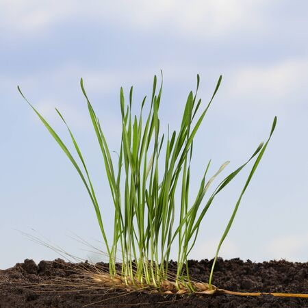 Green sprouts of wheat growing out of old ear over blue sky background in spring. Beginnings and re-formation concept.