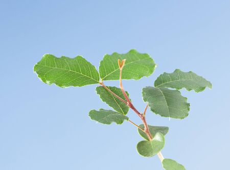 Macro of Carob tree (Ceratonia siliqua) twig with first new leaves over blue sky background