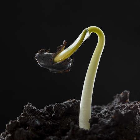 Macro of seed seedling growing in soil over dark background, low point of view 版權商用圖片