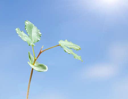 Carob plant (Ceratonia siliqua) sprout turns towards the sun, new life concept 版權商用圖片