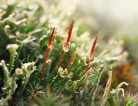 Macro of lichen and Common Haircap moss with red sporophytes (Polytrichum commune) after the rain