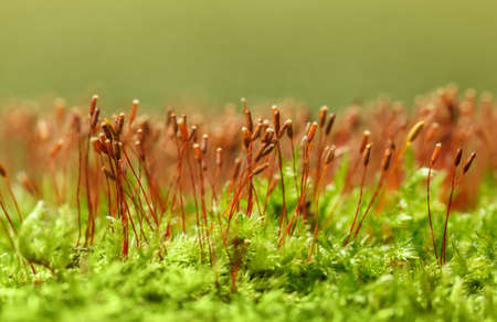 Macro low point of view of Pohlia nutans green moss with red seta spore capsules
