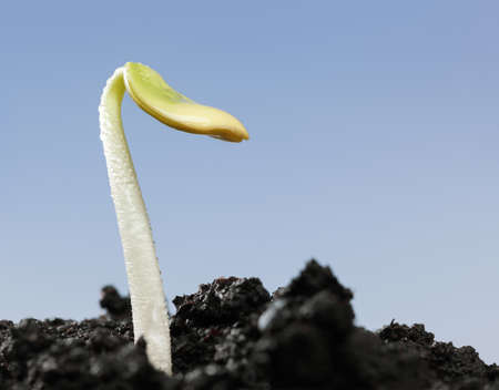 Macro of locust tree (Ceratonia siliqua) sprout with first leaf growing on soil over blue sky background, new life concept 版權商用圖片