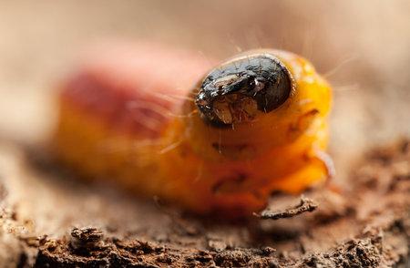 Large orange wood pest Goat moth caterpillar (Cossus cossus) crawl on pine tree bark, whole view, selective focus
