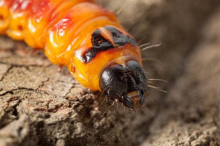 Macro view of wood pest caterpillar (Cossus cossus) head over pine tree bark background