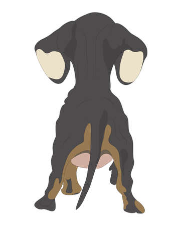 vector illustration of a dachshund that stands, view from the back, drawing color, vector, white background