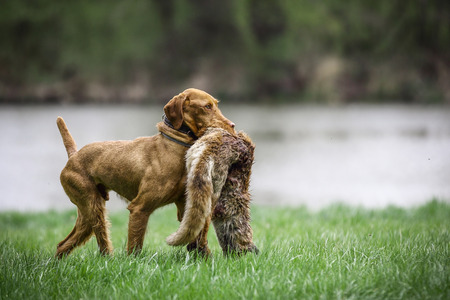 wirehaired: Wirehaired Vizsla with Fox