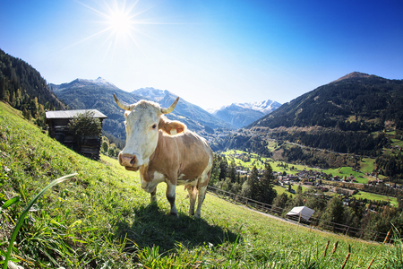 Grazing Cow on Austrian Alpine Mountains