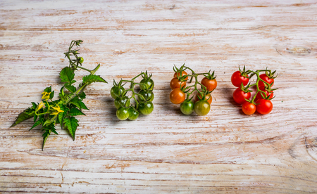 Cherry tomato ripening phases on white wooden table