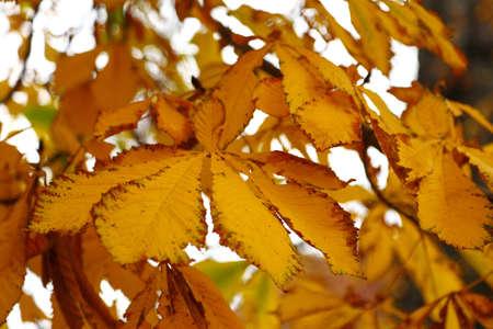 conker: yellow autumn conker leaf on chestnut tree Stock Photo