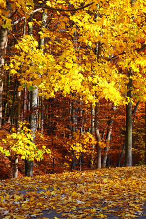Fall in Park beautiful autumn yellow wood tree photo