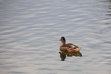 wild duck floating in a green lake outdoor photo