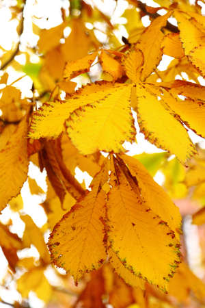 conker: yellow autumn conker leaf chestnut nature tree