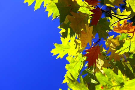 oak leaves, autumnal background - golden autumn photo