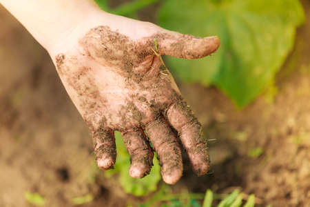 replanting: Summer work in the garden. Woman replanting marigold flowers plants showing dirty hands outdoor
