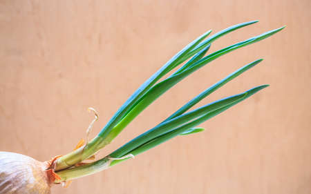 edible plant: Healthy edible plant. Onion bulb with chives fresh sprout, vegetable food new green burgeons grow in home.