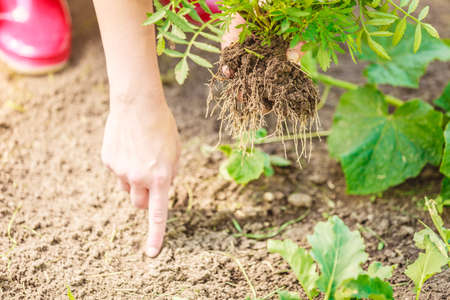 replanting: Summer work in the garden. Closeup woman replanting flowers plant, female hands holds marigold flower outdoor