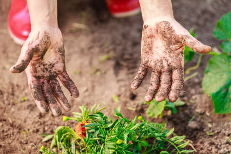 manos sucias: Summer work in the garden. Woman replanting marigold flowers plants showing dirty hands outdoor