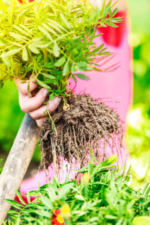 replanting: Summer work in the garden. Closeup female hands holds tool spade replanting marigold flowers outdoor