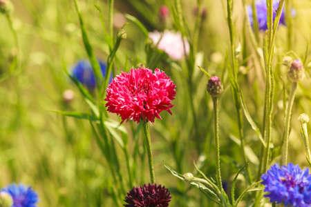 garden cornflowers: Blue and red cornflowers in the garden or on meadow field