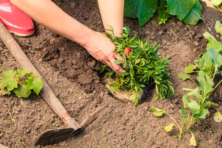 replanting: Summer work in the garden. Woman replanting marigold flowers plants outdoor Stock Photo