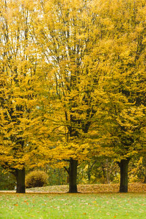 woodland scenery: Nature outdoor scenery foliage concept. Autumnal trees in park. Woodland during fall branches with golden leaves.
