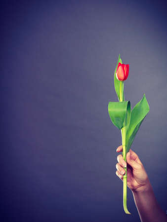 red tulip: Nature and flora. Female hand holding single red green tulip flower on gray grey background.