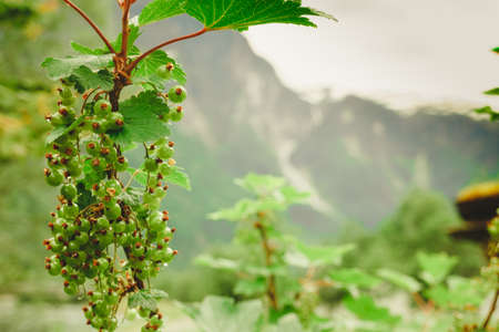Ecological fruit plantation concpet. Green ripening currant on shrub, norway mountains in background.