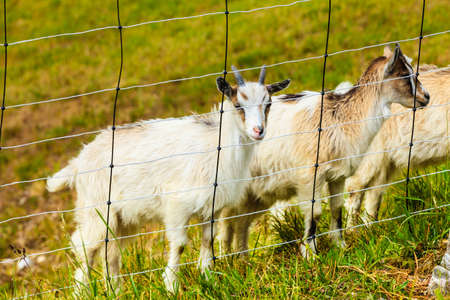 Goats eating grass on pasture, grazing on green field meadow.
