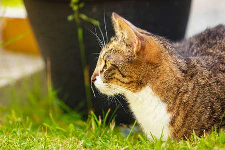 Animals. Brown tabby cat enjoying himself outdoor in garden, warming in the sun Stockfoto