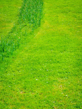 Contrast between mown and grown green grass. Outdoor lawn, nature details concept.