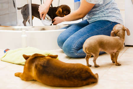 Woman taking care of her little dog. Female washing, cleaning dachshund under the shower. Animals hygiene concept.