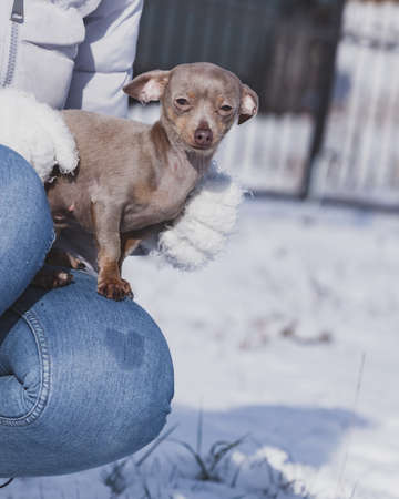 Unrecognizable person holding small tiny purebreed miniature pinscher dog puppy while snow is snowing