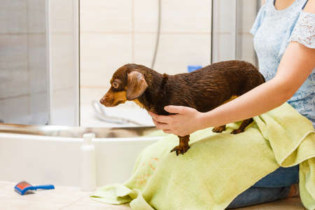 Women drying her little dog using green towel. Dachshund purebreed puppy after shower cleaning.