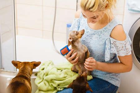 Woman taking care of her pinscher ratter prazsky krysarik, combing puppy hair using dog brush.