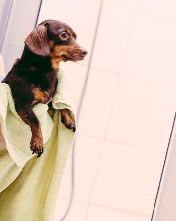 Unrecognizable person taking care of her pet, drying little dog after bath shower in bathroom, using towel. Grooming concept