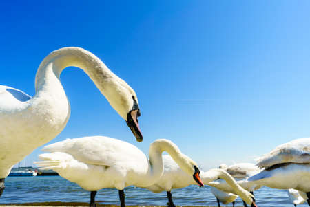 Swans walking around on sandy beach during sunny summer weather. Animals birds close up in nature.