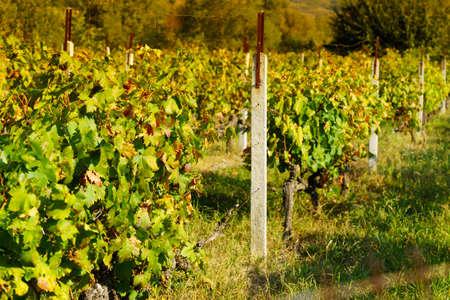 Vineyard in the Greek province. Flourishing vines during summertime warm weather in sunlight