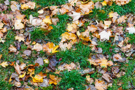 Colorful fall maple leaves on background of green grass.