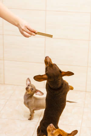Unrecognizable person training little dogs giving food treats, puppies are jumping around. Stockfoto