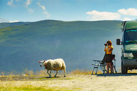 Camper van and sheep on roadside and female tourist taking photo with camera, enjoying summer landscape, Norway. Tourism vacation and travel. Stock fotó