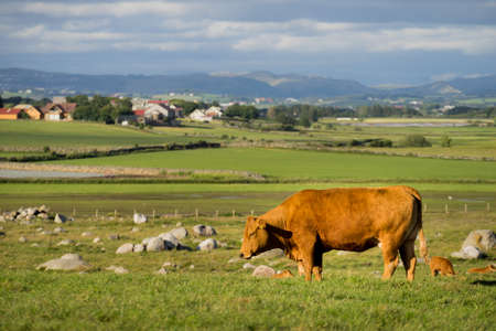 Cows in meadow field. Tranquil countryside scene.