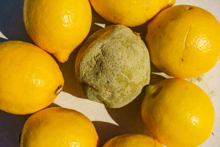 Healthy and green moldy lemon citrus fruits. Rotten fungi food.